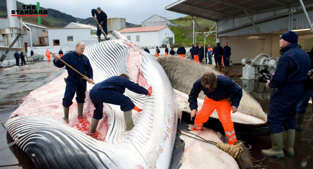 Iceland to keep hunting up to 2,130 whales over 5 years