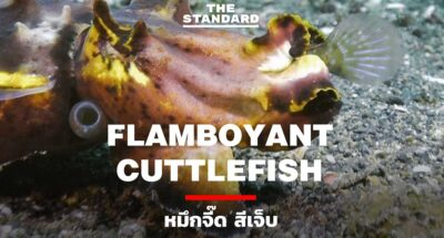 Flamboyant-Cuttlefish