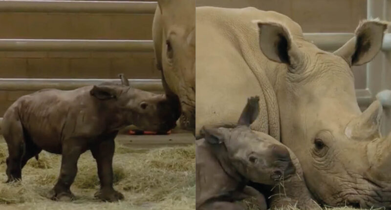 rhino from extinction