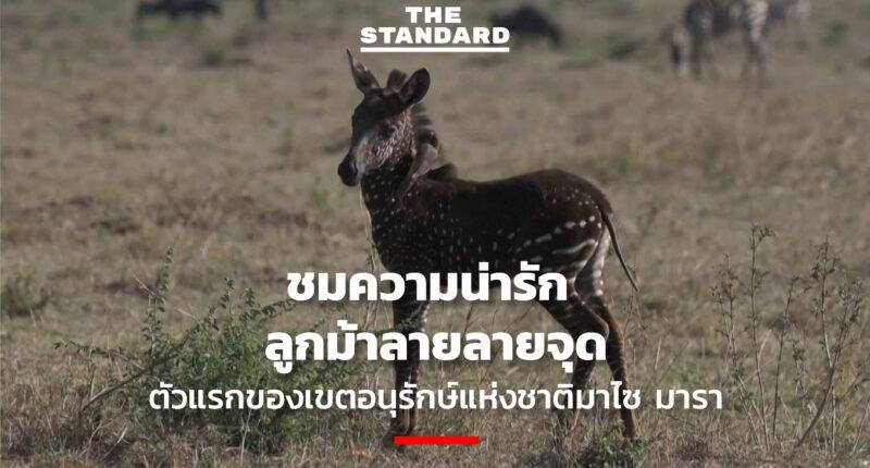 ลูกม้าลายลายจุดตัวแรกของเขตอนุรักษ์แห่งชาติมาไซ มารา