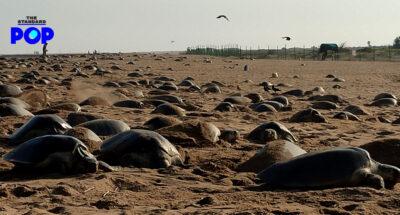 เต่าทะเลวางไข่บนชายหาดอินเดีย