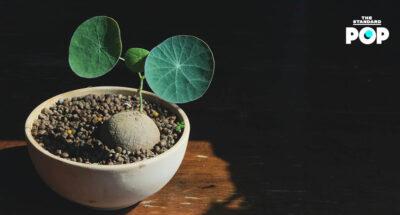 ทำความรู้จักไม้โขดสายพันธุ์ไทย พืชอะไรมีดีที่หัว