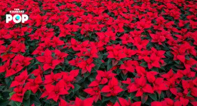 12 ธันวาคม: วันพอยน์เซตเทีย