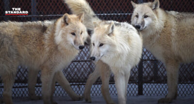 ค้นพบครั้งแรกของโลก ผลวิจัยเผยหมาป่าโบราณในซีรีส์ฮิต Game of Thrones เป็นญาติห่างๆ กับหมาป่าในปัจจุบัน
