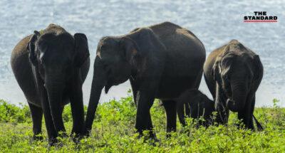 ศรีลังกาจ่อสำรวจสำมะโนประชากรช้าง หลังความขัดแย้งกับมนุษย์เพิ่มสูงขึ้น