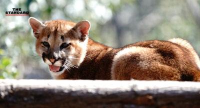 สวนสัตว์เซี่ยงไฮ้เผยชื่อลูกเสือ