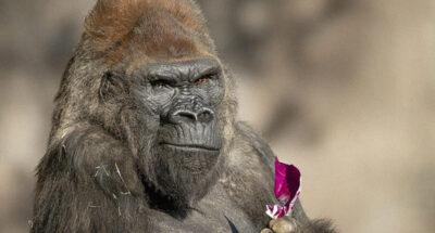 9 ลิงใหญ่ในสวนสัตว์ซานดิเอโกของสหรัฐฯ ได้รับวัคซีนต้านโควิด-19 แล้ว หลังพบกอริลลาติดโควิด-19