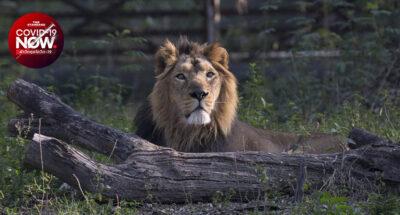 สิงโตเอเชีย