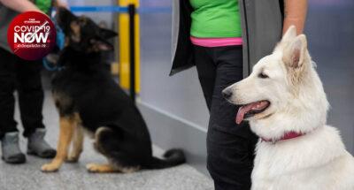 สุนัขดมกลิ่น ผู้ป่วยโควิด-19