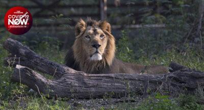 สิงโตติดโควิด-19