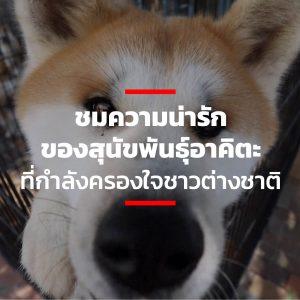 ชมความน่ารักของสุนัขพันธุ์อาคิตะที่กำลังครองใจชาวต่างชาติ